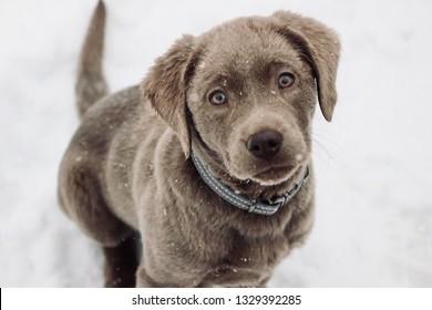 Imágenes, fotos de stock y vectores sobre Silver Lab Puppy