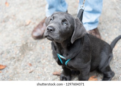Silver Labrador retriever puppy dog on leash at masters feet looking up.