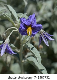 Silver leaf Nightshade - Desert Wildflower
