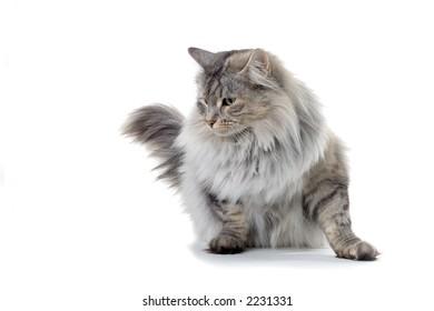 silver norwegian forest cat looking sidewards