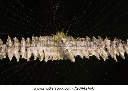 ad4f4f5c110 Silver Orb Spider Cyclosa Insulana Stock Photo (Edit Now) 720442468 ...