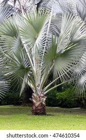 Silver palm tree in a green park