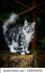 Silver patched cat chilling in garden looking around and sitting on a wooden log. Playful 3 color Maincoon cat outdoor. Adorable gray kitten in a dark garden.