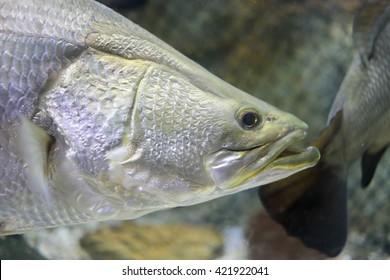 silver perch