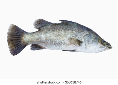 Silver perch, Barramundi,Fish fresh and tasty seafood isolate on white background