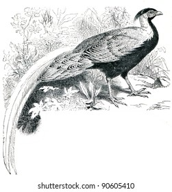 Silver Pheasant - Lophura nycthemera - an illustration by P. Mangelsdorff of the encyclopedia publishers Education, St. Petersburg, Russian Empire, 1896