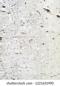 Silver poplar bark background and texture