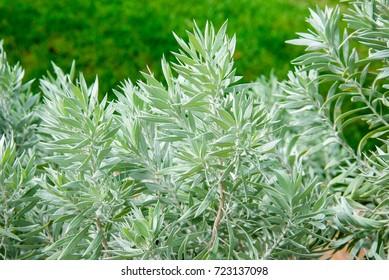 Silver Poverty Bush (Eremophila pterocarpa)