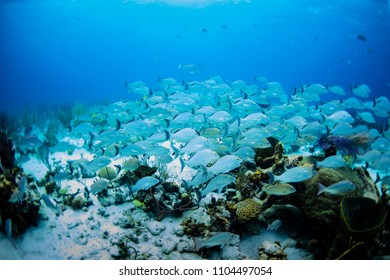 Silver sailer fish schooling in the Bahamas