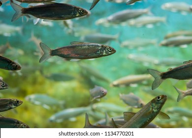 Silver scaled fish swimming in school in fresh water aquarium