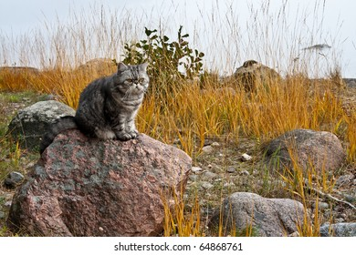 Silver spotted exotic shorthair cat sitting on the stone at the beach