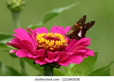 A Silver Spotted Skipper Butterfly feed on a vivid pink Zinnia flower in my garden.