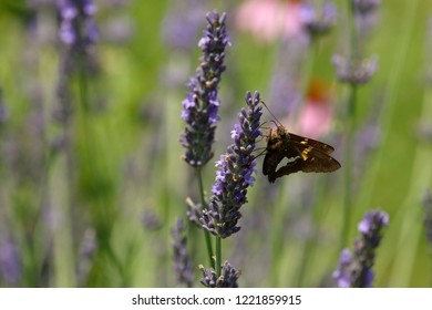 A Silver Spotted Skipper Butterfly feeds on Lavender blossoms in my herb garden.