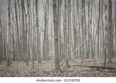 Silver Stand of Barren Trees in a Winter Forest