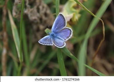 Silver studded blue butterfly, Plebejus argus, with wings open in grassland at West Pentire, Cornwall.