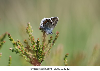 Silver studded blue in the sun