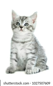 Silver tabb kitten looking up isolated on white background