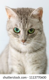 Silver tabby cat closeup
