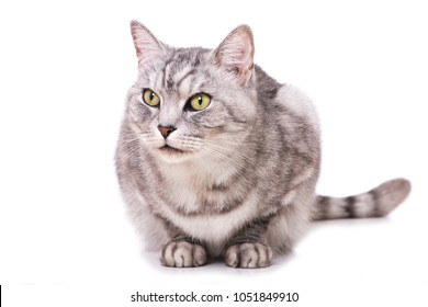 Silver tabby cat isolated on white background