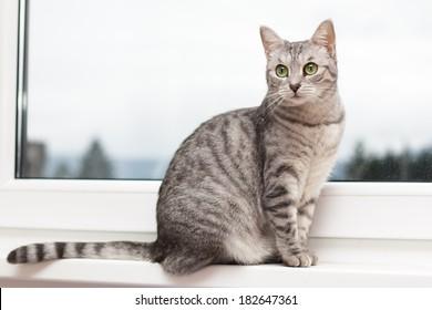 Silver tabby cat sitting on a window shelf