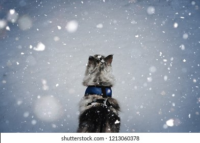 Silver tabby Maine Coon cat standing in the snow and gazing at falling snow.