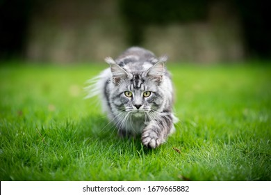 silver tabby maine coon cat hunting walking towards camera lowered with copy space