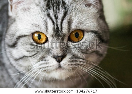 Silver Tabby Scottish Strite Cat Portrait Stock Photo Edit Now