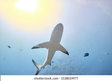 Silver tip reef sharks swimming around in tropical waters of Fiji with scuba divers in deep water