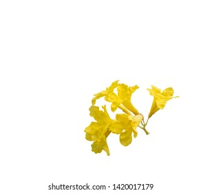 Silver trumpet flower ,flower of tree of gold, Paraguayan silver trumpet tree; golden tree flower isolated.