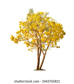Silver trumpet tree, Tree of gold,Paraguayan silver trumpet tree,Tabebuia aurea