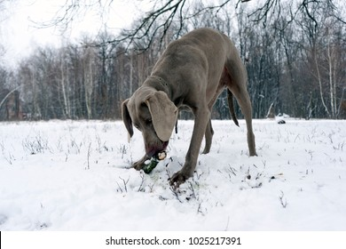 Silver weimaraner purebred male dog weimaraner dog laying down, facing camera, chewing wooden stick, on winter forest background