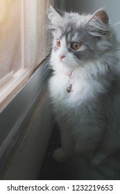 Silver white Persian cat sitting side window and looking something.