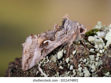 Silver Y moth ( Autographa gamma ) in the family Noctuidae. Sitting on lichen covered bark.