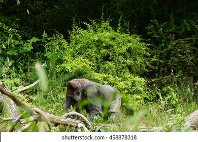 Silverback gorilla browsing for  lunch