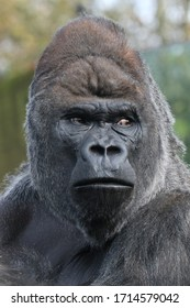 Silverback Gorilla checking out his surroundings.