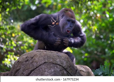 Gorilla Chest Images, Stock Photos & Vectors | Shutterstock