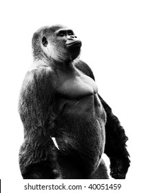 Silverback Gorilla cut out on white background. Path included.