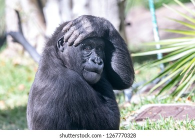 A silverback gorilla displays funny antics while keeping an eye on her infant offspring.