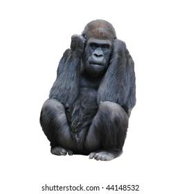Silverback  Gorilla Isolated on White Background
