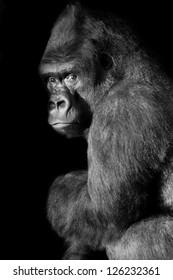Silverback Gorilla looks straight in to the camera