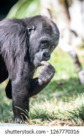 A silverback gorilla picks at some grass and eats it while watching her offspring play