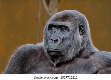 a silverback gorilla resting in a meadow