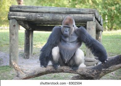 Silverback Gorilla Sitting