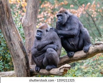 Silverback gorillas sitting together in park