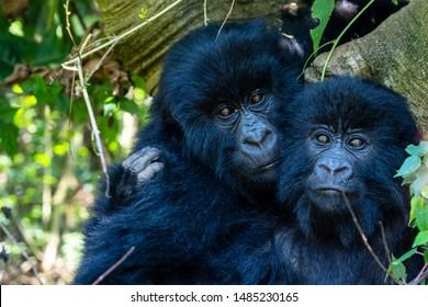 Silverback Gorillas Uganda Bwindi impenetrable forest