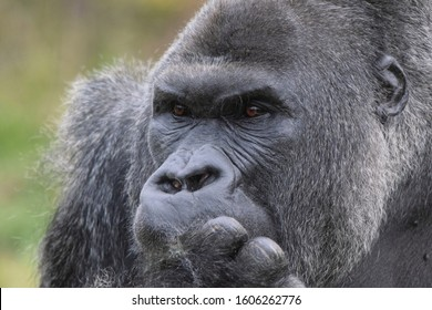 Silverback Lowland Gorilla Close Up of Face