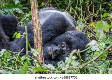 Silverback Mountain gorilla laying down in the Virunga National Park, Democratic Republic Of Congo.