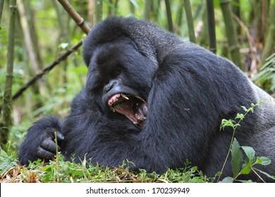Silverback mountain gorilla in rain forest yawning