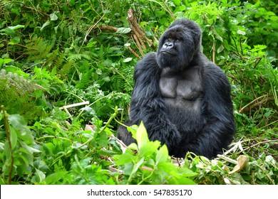 Un gorille de montagne argenté dans une forêt tropicale au Rwanda