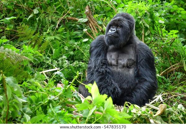 Un gorila de montaña silvestre en una selva tropical en Ruanda